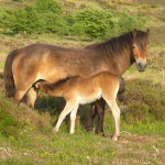 Exmoor Pony Mare and Foal